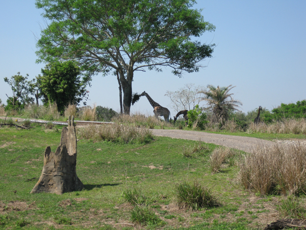 Giraffes on the savannah